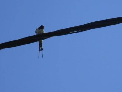 Eén zwaluw in de zomer